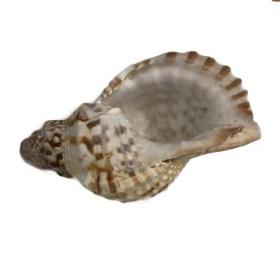Conque marine Casque